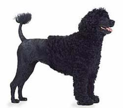 Grooming A Portuguese Water Dog Face
